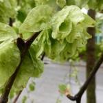 Ulmenblüte im Detail, Ulmus glabra Pendula, Hängeulme