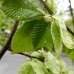 Ulmus glabra Pendula, Hängeulme Blätter