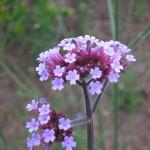 Blütendetail Verbena bonariensis - Eisenkraut