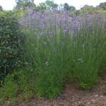 Wuchs der Verbena bonariensis - Eisenkraut