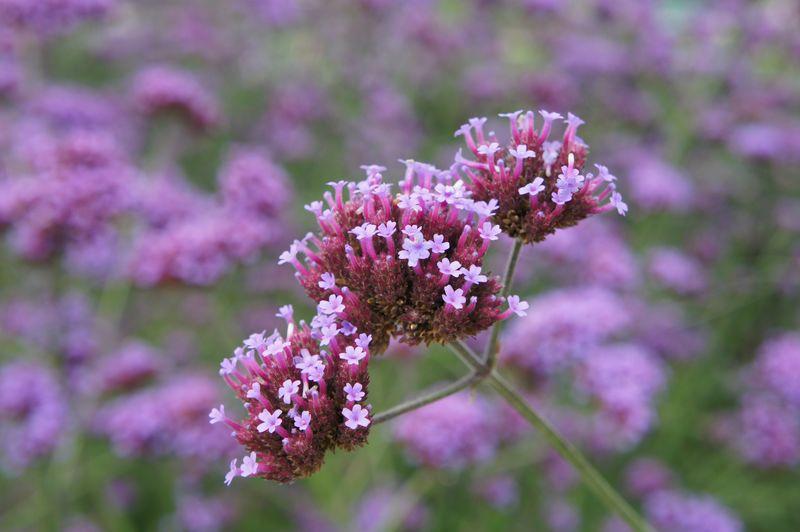 Verbena bonariensis - Eisenkraut, Blütendetail
