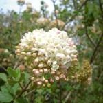Vibrunum x carlcephalum - großblumiger Duftschneeball,