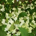 Blüte von Viburnum plicatum - japanischer Schneeball, Etagenschneeball