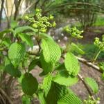 Viburnum plicatum - japanischer Schneeball, Etagenschneeball, Blütenknospen