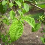 Viburnum plicatum - japanischer Schneeball, Etagenschneeball, Detail Blatt