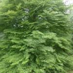 Fagus sylvatica Asplenifolia - farnblättige Rotbuche