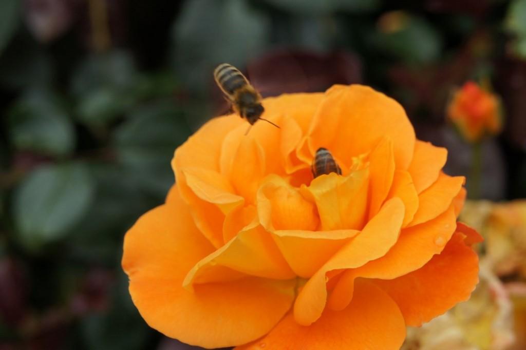 Rosenblüte mit Bienenbesuch