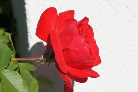 leuchtend rote Rosenblüte