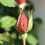 rote Rosenknospe