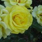 gelbblühende Rose