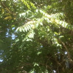 Ailanthus altissima, Götterbaum