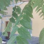 Detail Blatt von Ailanthus altissima, Götterbaum