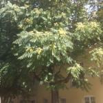 Wuchs, Habitus Ailanthus altissima, Götterbaum