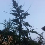 Blüte Datisca cannabina - Scheinhanf