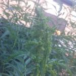 Datisca cannabina - Scheinhanf weibliche Blüte