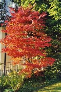 rotorange Herbstfärbung an Ahorn