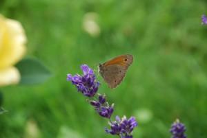 die letzten Blüten, Nahrung für Schmetterlinge