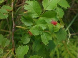 Galle der Rosengallwespe an den Blättern