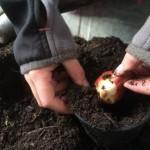Tulpen und Narzissen werden in einen Topf gepflanzt