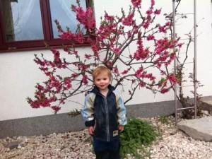 Prunus persica var. nucipersica - Nektarine, Zwergnektarine in voller Blüte