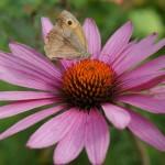 Blütendetail, Rudbeckia purpurea oder Echniacea purpurea - roter Sonnenhut