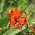 Biene in Blüte der Gartenmontbretie, Crocosima masonorum