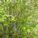 Holodiscus discolor - Schaumspiere, Wuchs