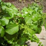 Hydrangea petiolaris, Kletterhortensie