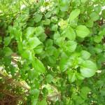 Hydrangea petiolaris - Kletterhortensie, Detail Laub
