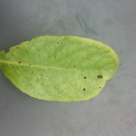 Schrotschußkrankheit an Kirschlorbeer Blattoberseite