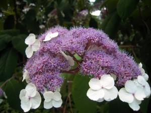 Hydrangea aspera Sargentiana - Samthortensie, Schirmhortensie