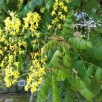 Koelreutheria paniculata - Blasenstrauch, Blasenbaum, Blasenesche