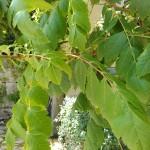 unpaarig gefiederte Blätter