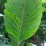 Aesculus hippocastanum mit Kastanienminiermotte (Cameraria ohridella) Blattunterseite