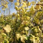 Ulmus carpinifolia Wredeii, Goldulme