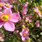 rosa Blüten der Bienenweide Herbstanemone