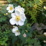weiße Blüten der Herbstanemone Honorine Jobert
