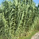 Arundo donax - Pfahlrohr, Sichtschutz, Heckenpflanzung