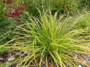 Carex montana - Bergsegge
