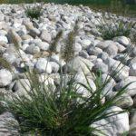 Lampenputzergras Pennisetum im Gräserbeet