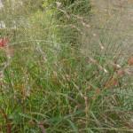 Panicum virgatum Rotstrahlbusch - Rutenhirse, Blütenähren