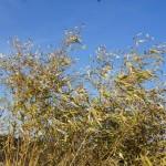 Braune Bambushecke durch Frostschaden