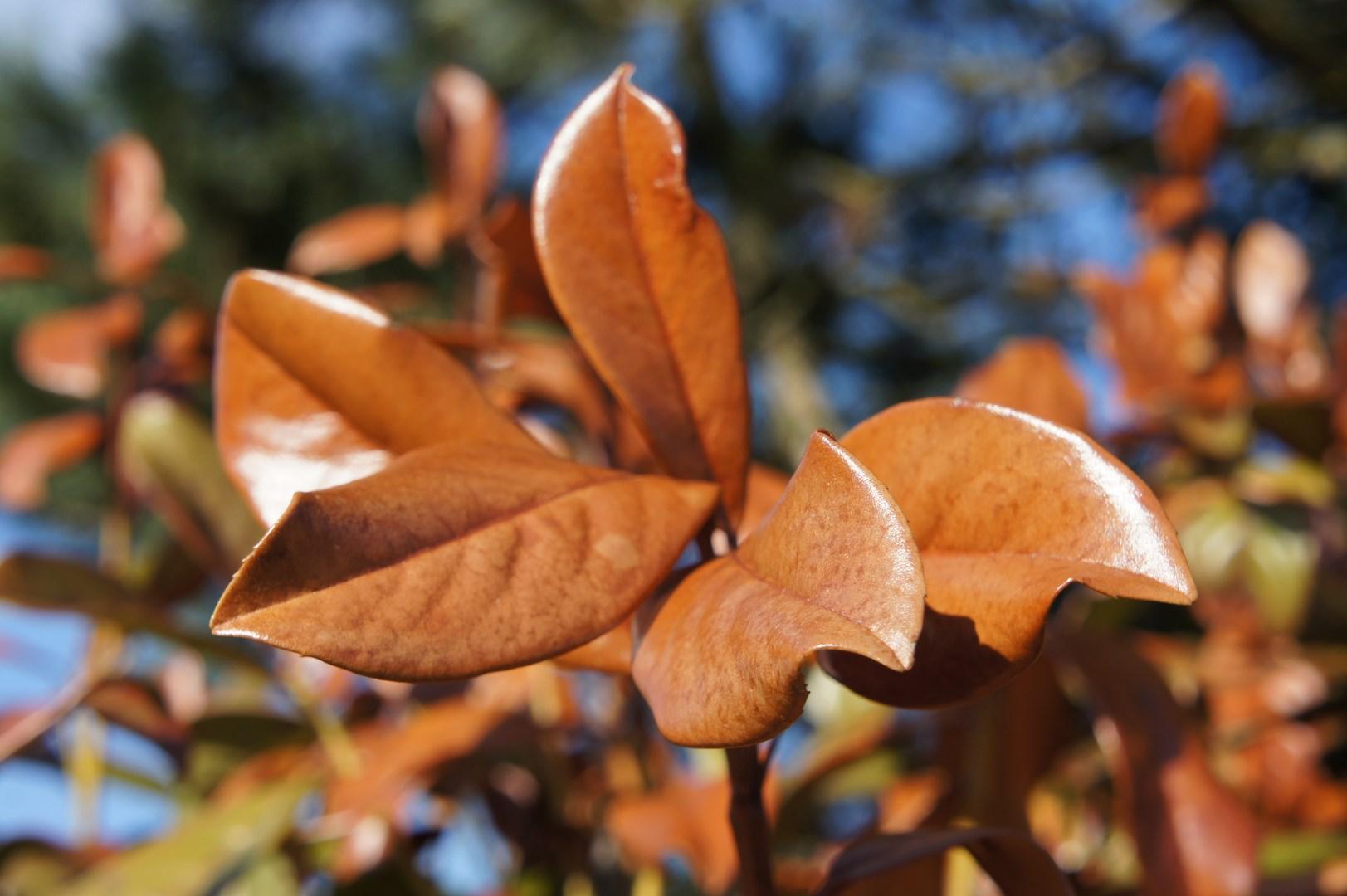 abgestorbene Triebspitze bei Kirschlorbeer wegen Frostschaden