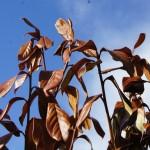 Abgestorbene Triebe durch Frostschaden an Kirschlorbeer