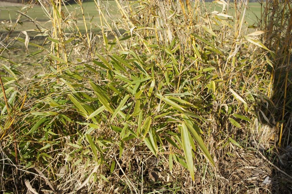 Bambus mit Frostschaden, grün an der Basis