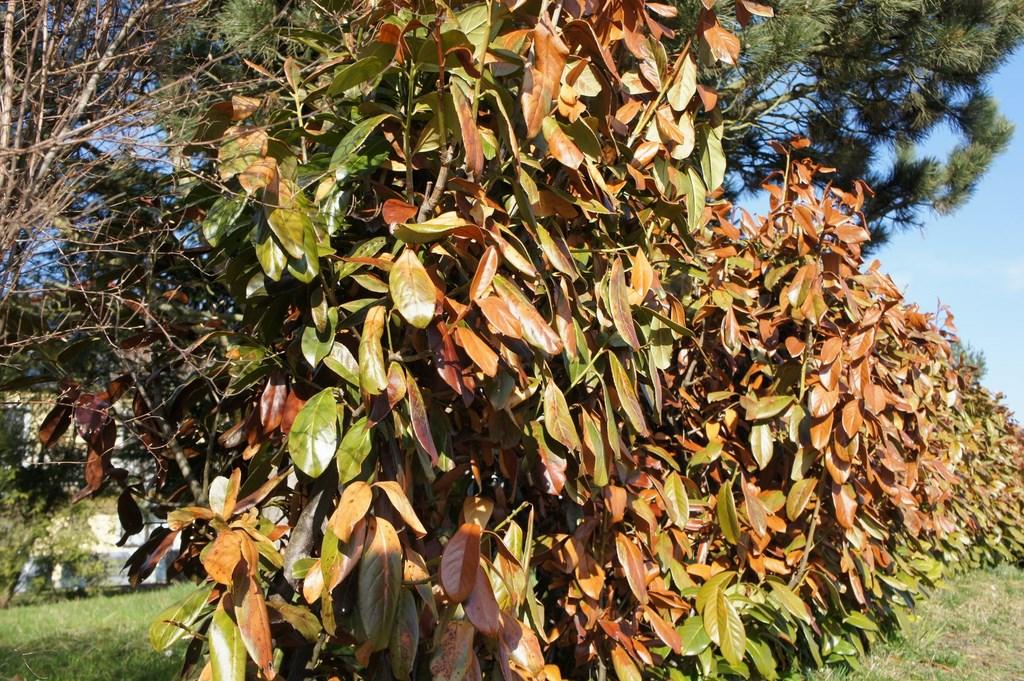 Große Teile einer Kirschlorbeerhecke sind braun wegen eines Frostschadens