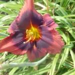 Hemerocallis x cultorum - einfach, purpur lila