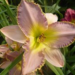 Hemerocallis x cultorum - einfach, zartrosa