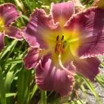 Hemerocallis x cultorum - einfache Blüte in zwei Farben