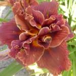 Hemerocallis x cultorum - gefüllt, dunkel rot